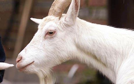 goat-telegraph