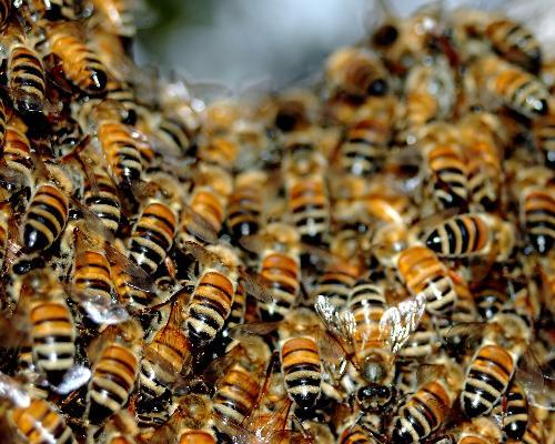 bee_swarm-743656