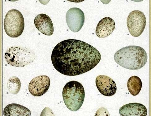 animal-bird-eggs-1