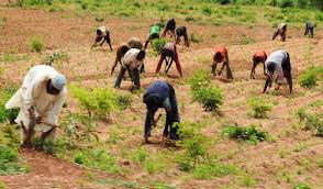 Yam farmers