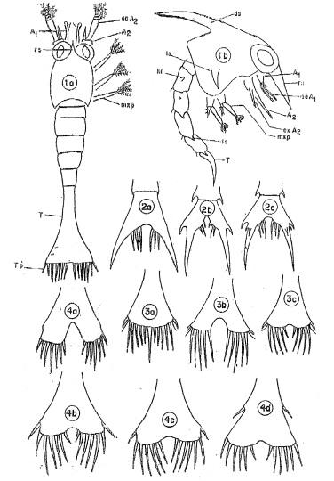 Jonathan's 1985 Masters publication in 'shrimp'/Crab larvae