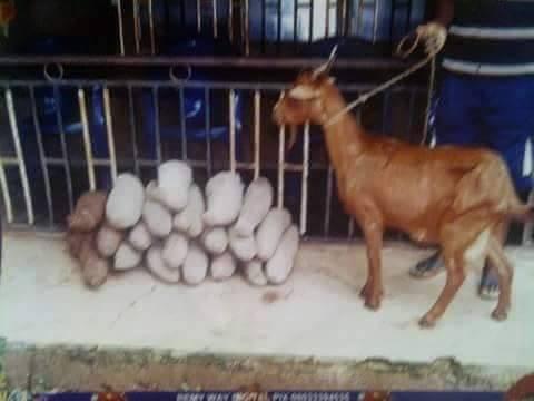 yam goat