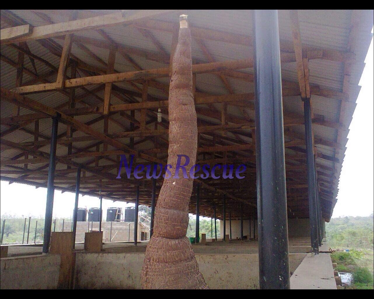 record cassava
