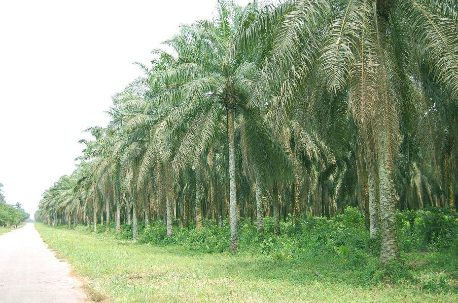 AGRIC 002 OIL PALM DEVELOPMENT IN RIVERS STATE