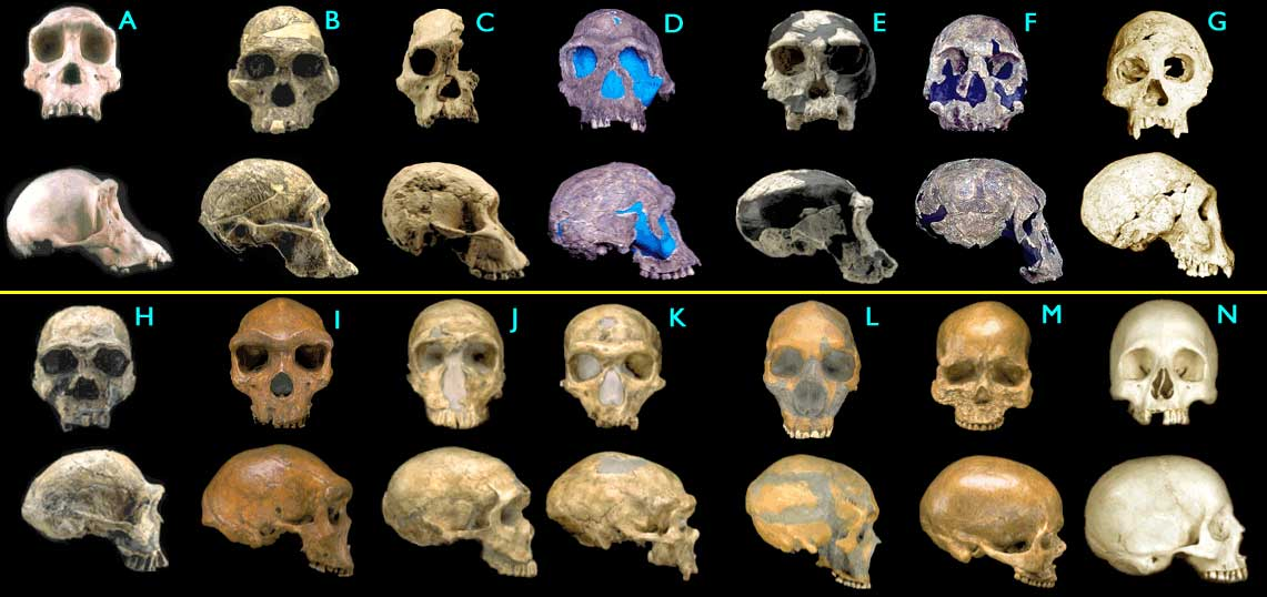 Fossil hominid skulls. Some of the figures have been modified for ease of comparison (only left-right mirroring or removal of a jawbone). (Images © 2000 Smithsonian Institution.)